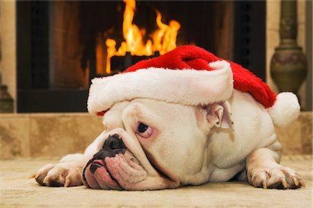 English Bulldog Wearing Santa Hat Stock Photo - Rights-Managed, Code: 700-02659928