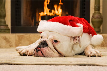 dog in heat - English Bulldog Wearing Santa Hat Stock Photo - Rights-Managed, Code: 700-02659929
