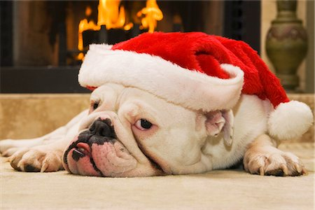 dog in heat - English Bulldog Wearing Santa Hat Stock Photo - Rights-Managed, Code: 700-02659930