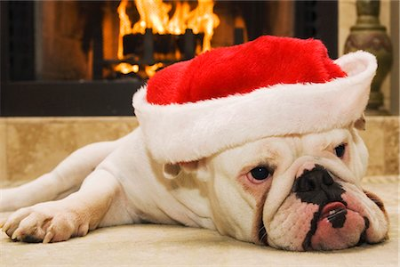 dog in heat - English Bulldog Wearing Santa Hat Stock Photo - Rights-Managed, Code: 700-02659931