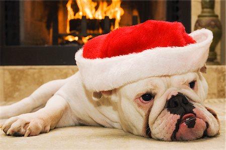 dog in heat - English Bulldog Wearing Santa Hat Stock Photo - Rights-Managed, Code: 700-02659931