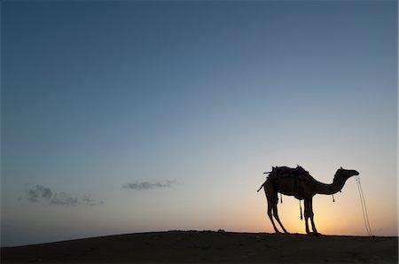 rajasthan camel - Camel at Sunset, Thar Desert near Jaisalmer, Rajasthan, India Stock Photo - Rights-Managed, Code: 700-02669459