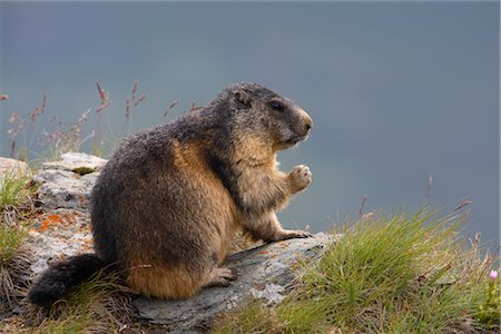 Alpine Marmots, Hohe Tauern National Park, Austrian Alps, Austria Stock Photo - Rights-Managed, Code: 700-02670347