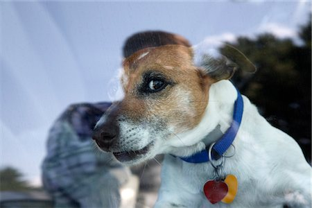 Dog Looking Out Car Window Stock Photo - Rights-Managed, Code: 700-02671015