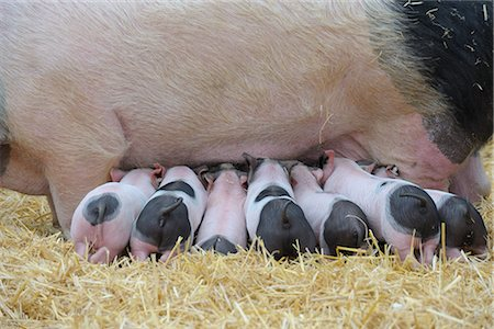Suckling Piglets Stock Photo - Rights-Managed, Code: 700-02671158