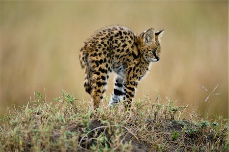 Serval Kitten Stock Photo - Rights-Managed, Code: 700-02671429