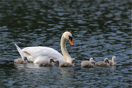 Mute Swan Mother and Cygnets Stock Photo - Rights-Managed, Code: 700-02686027