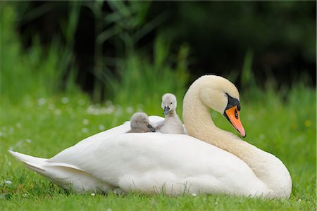 Mute Swan Mother and Cygnets Stock Photo - Rights-Managed, Code: 700-02686029