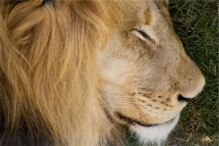 Close-up of Lion Stock Photo - Rights-Managed, Code: 700-02693947