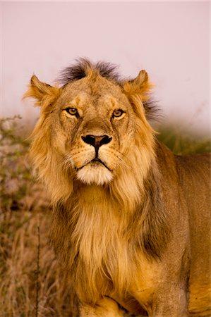 Lion, Ruaha National Park, Tanzania Stock Photo - Rights-Managed, Code: 700-02723175