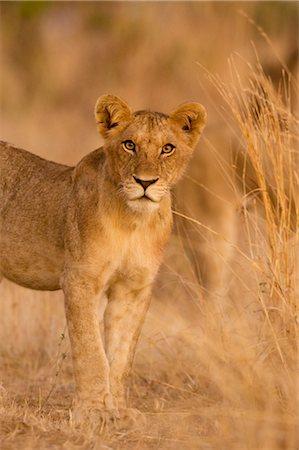 Young Lion, Ruaha National Park, Tanzania Stock Photo - Rights-Managed, Code: 700-02723176
