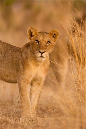 Young Lion, Ruaha National Park, Tanzania Stock Photo - Rights-Managed, Code: 700-02723176