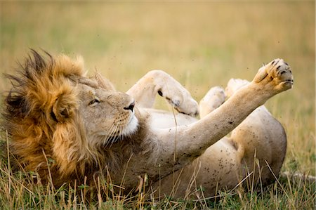 roll (people and animals rolling around) - Lion, Masai Mara, Kenya Stock Photo - Rights-Managed, Code: 700-02723203