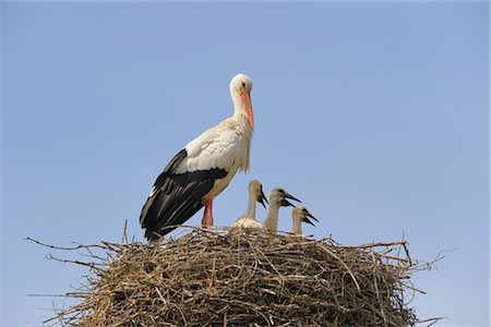 White Stork and Chicks in Nest Stock Photo - Rights-Managed, Code: 700-02738279