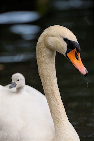 Cygnet on Mute Swan's Back Stock Photo - Rights-Managed, Code: 700-02738287