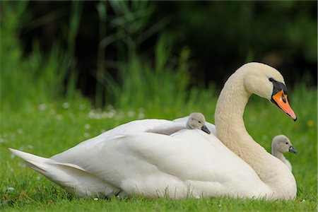 Cygnet on Mute Swan's Back Stock Photo - Rights-Managed, Code: 700-02738289