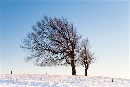 Warped Beech Tree in Winter, Black Forest, Baden-Wuerttemberg, Germany Stock Photo - Rights-Managed, Code: 700-02756686