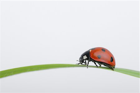 endangered animal - Seven-spotted Ladybug on a Blade of Grass Stock Photo - Rights-Managed, Code: 700-02798175