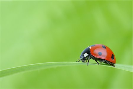 endangered animal - Seven-spotted Ladybug on a Blade of Grass Stock Photo - Rights-Managed, Code: 700-02798177