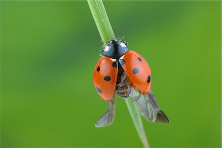 Seven-spotted Ladybug With Open Wings on a Blade of Grass Stock Photo - Rights-Managed, Code: 700-02798185