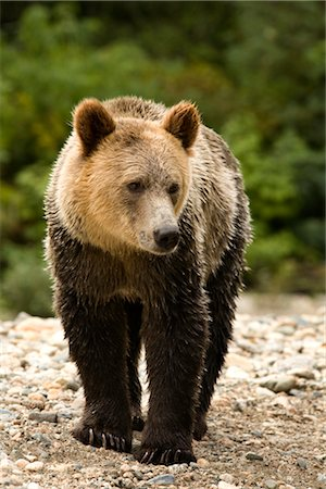 Male Grizzly Bear, Knight Inlet, British Columbia, Canada Stock Photo - Rights-Managed, Code: 700-02834005