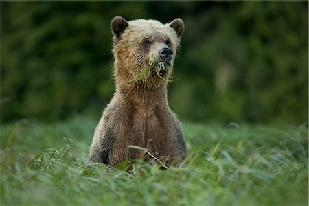 Male Grizzly Bear Eating Lyngbye's Sedge, Glendale Estuary, Knight Inlet, British Columbia, Canada Stock Photo - Rights-Managed, Code: 700-02834006