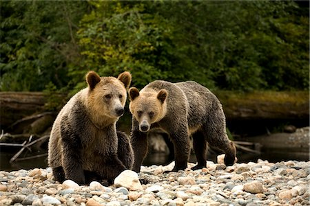 Two Young Grizzly Bears by Glendale River, Knight Inlet, British Columbia, Canada Stock Photo - Rights-Managed, Code: 700-02834007