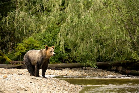 Young Male Grizzly on Riverbank, Glendale River, Knight Inlet, British Columbia, Canada Stock Photo - Rights-Managed, Code: 700-02834000