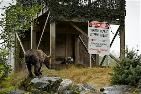 Grizzly Bear by Blind with Danger Sign, Glendale River, Knight Inlet, British Columbia, Canada Stock Photo - Rights-Managed, Code: 700-02834001