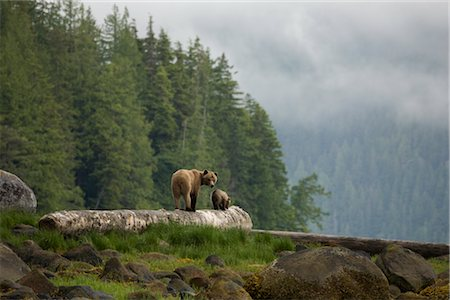Mother Grizzly and Cub, Knight Inlet, British Columbia, Canada Stock Photo - Rights-Managed, Code: 700-02834002