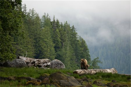 Mother Grizzly and Cub, Glendale Estuary, Knight Inlet, British Columbia, Canada Stock Photo - Rights-Managed, Code: 700-02834003