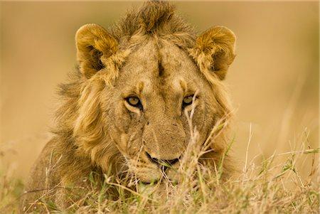 Close-up of Male Lion, Masai Mara, Kenya, Africa Stock Photo - Rights-Managed, Code: 700-02833737