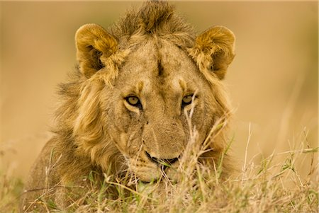 Close-up of Male Lion, Masai Mara, Kenya, Africa Stock Photo - Rights-Managed, Code: 700-02833737