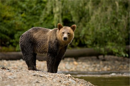 Young Male Grizzly Bear Standing by Glendale River, Knight Inlet, British Columbia, Canada Stock Photo - Rights-Managed, Code: 700-02833744