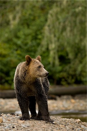 Young Male Grizzly Bear Standing by Glendale River, Knight Inlet, British Columbia, Canada Stock Photo - Rights-Managed, Code: 700-02833746