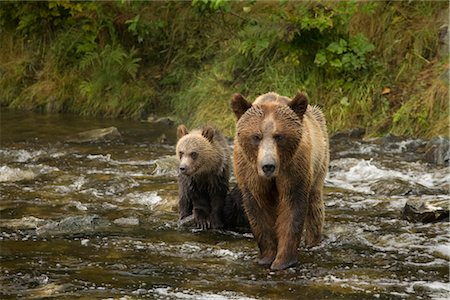Mother Grizzly Bear and Cub in the Glendale River, Kinght Inlet, British Columbia, Canada Stock Photo - Rights-Managed, Code: 700-02833747