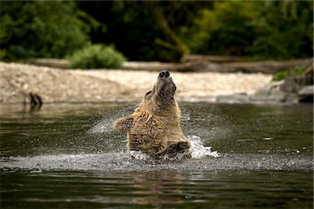 Male Grizzly Shaking the Water Out of His Ears, Glendale River, Knight Inlet, British Columbia, Canada Stock Photo - Rights-Managed, Code: 700-02833748