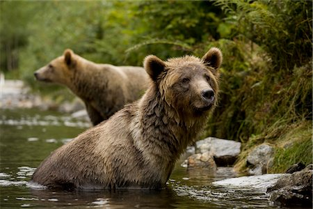Two Young Grizzly Bears Searching for Salmon in the Glendale River, Knight Inlet, British Columbia, Canada Stock Photo - Rights-Managed, Code: 700-02833749