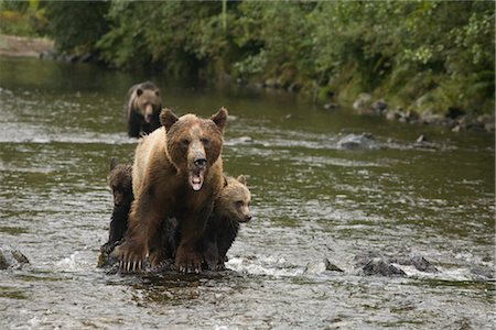 Grizzly Mother With Cubs in the Glendale River, Knight Inlet, British Columbia, Canada Stock Photo - Rights-Managed, Code: 700-02833741