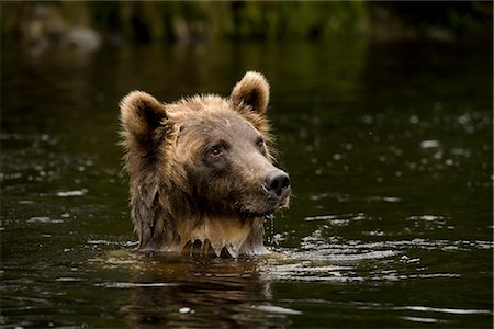 Young Female Grizzly Bear Searching for Salmon, Glendale River, Knight Inlet, British Columbia, Canada Stock Photo - Rights-Managed, Code: 700-02833742