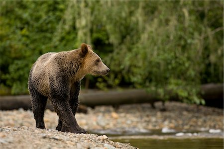 Young Male Grizzly Bear Walking Along Glendale River, Knight Inlet, British Columbia, Canada Stock Photo - Rights-Managed, Code: 700-02833743