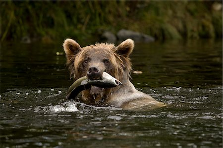 Young Female Grizzly Bear With a Pacific Pink Salmon in Her Mouth, Glendale River, Knight Inlet, British Columbia, Canada Stock Photo - Rights-Managed, Code: 700-02833750