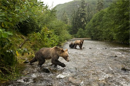 Young Male Grizzly Bear Lunging After Salmon in the Glendale River, Knight Inlet, British Columbia, Canada Stock Photo - Rights-Managed, Code: 700-02833751