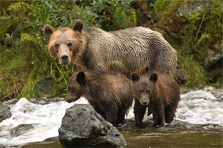 Mother Grizzly Bear and Cubs in the Glendale River, Kinght Inlet, British Columbia, Canada Stock Photo - Rights-Managed, Code: 700-02833752