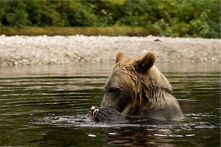 Male Grizzly Bear EatingSalmon in Glendale River, Knight Inlet, British Columbia, Canada Stock Photo - Rights-Managed, Code: 700-02833996