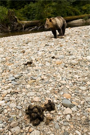 Grizzly Bear and Excrement, British Columbia, Canada Stock Photo - Rights-Managed, Code: 700-02833997