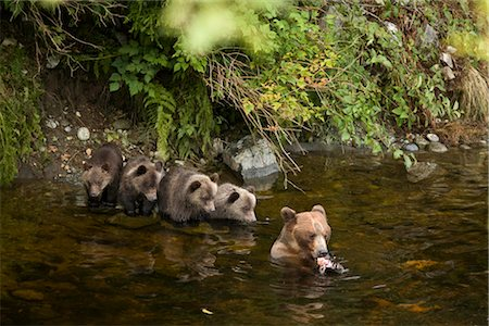 Mother Grizzly Bear and Cubs Fishing in Glendale River, Knight Inlet, British Columbia, Canada Stock Photo - Rights-Managed, Code: 700-02833991