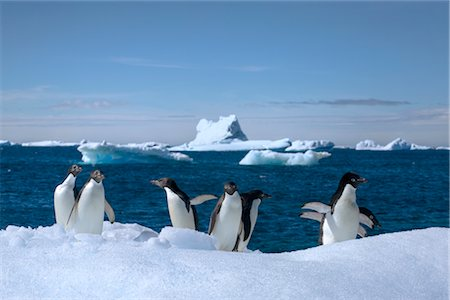 Adelie Penguins, Antarctic Peninsula, Antarctica Stock Photo - Rights-Managed, Code: 700-02912464