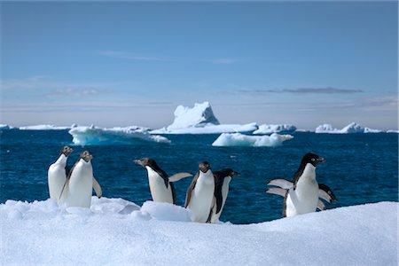 Adelie Penguins, Antarctic Peninsula, Antarctica Stock Photo - Rights-Managed, Code: 700-02912464