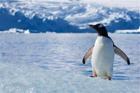 Gentoo Penguin, Antarctica Stock Photo - Rights-Managed, Code: 700-02912469